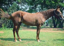3 Year Old Quarter Horse Gelding For Sale