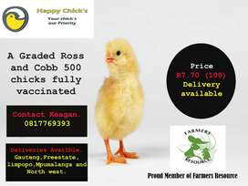 Broiler Chicks fore sale