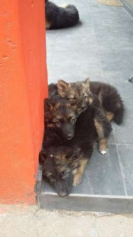 Male German Shepherd pup