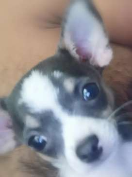 Chihuahua pup blue and white 2600 today special only