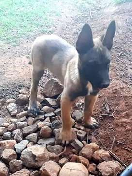 For Sale Malinois (Belgian Shepherd) sire puppy.