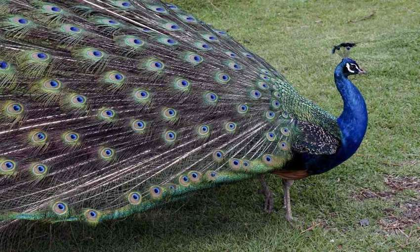 Peacock wanted 0