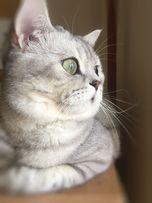 Скотиш Страйт/Шотладский кот шиншилла на вязку! Scottish strait