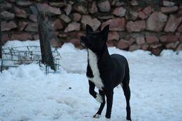 Потерялась черно- белая собачка среднего размера Макаровский район