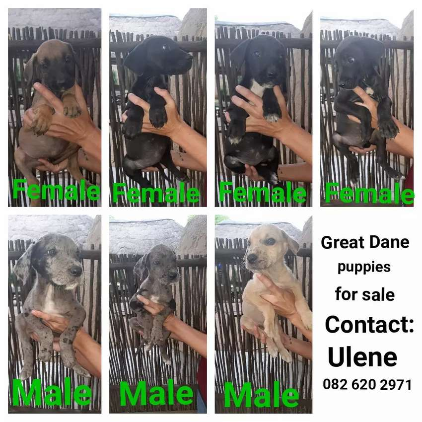 Great Dane puppies for sale 0