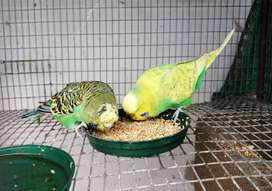 Show budgie pair
