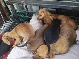 Pure bred Dachshund puppies for sale