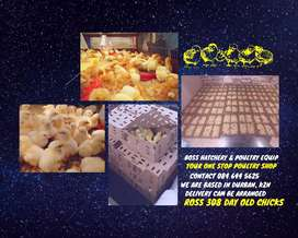 Day Old Ross 308 Broiler Chicks - Boss Hatchery & Poultry Equipment
