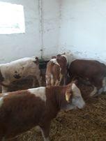 Byczki Strzelce op ładne mięsne polskie