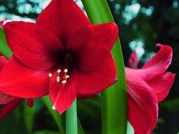 Цветущее комнатное растение Амариллис (Гиппеаструм) — купить в Киеве