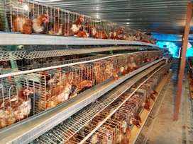 Layer Chicken Culls for sale