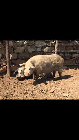 2 pigs for sale Each R3000