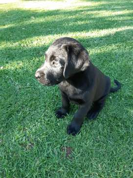 Pure Bred Black Labrador Puppies