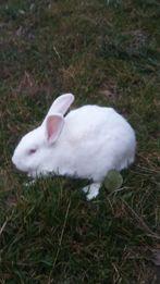 Sprzedam króliki termondzie i kalifornijskie.