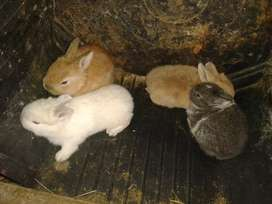 Baby Jersey wooly bunnies