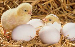 Инкубационное яйцо Карликовый леггорн В-33 (мини-несушка)