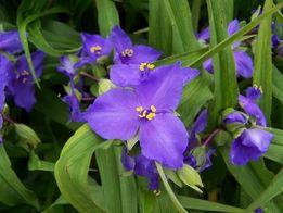 Традесканция садовая цветы многолетние