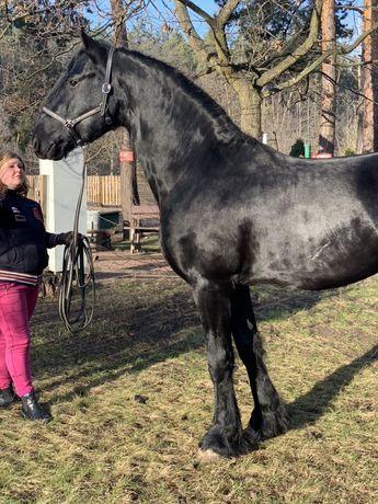 Фриз 3 года жеребец , конь , лошадь