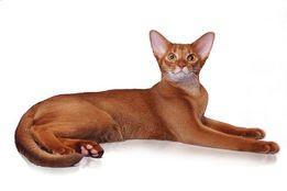 Абиссинский кот. Вязка
