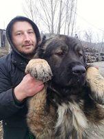Кавказская овчарка. Кобель. Вязка. Видео