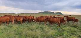 6x Afrikaner  Cows (pregnant) for sale