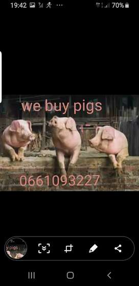 we buy small pigs for cash
