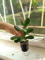 Денежное дерево - крассула, молодые растения