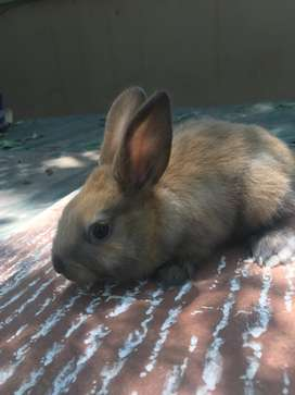 Adorable Giant Rabbits and others for sale