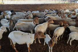 Pedi sheep and Ewes for sale