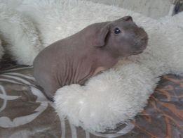 продам скинни морская свинка лысая