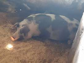 Pigs and Piglets for sale. Landrass and F1. Breeding sows pregnant.