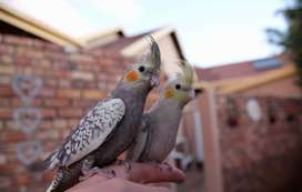 Hand-reared Cockatiels