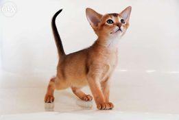 Абиссинские котята - море позитива .