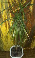 Красивая Драцена Marginata, 140 см