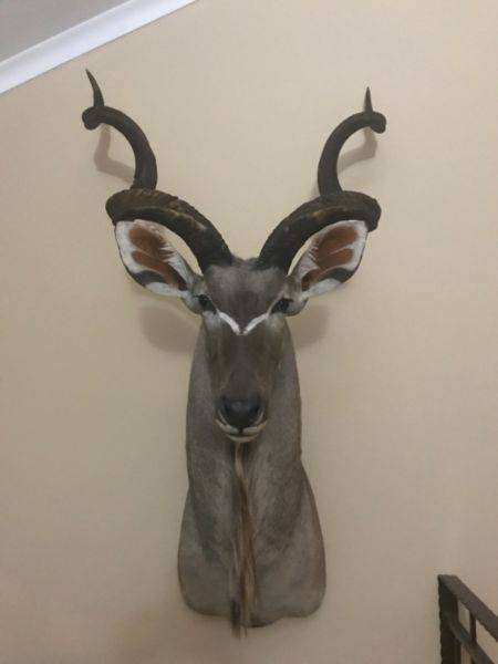 Taxidermy hunting trophies For Sale. 0