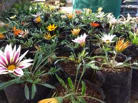 Gazania Plants for sale at only R15