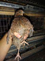 Молодняк и инкубационное яйцо перепелов Чёрный московский