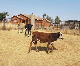 Two males cow for sale