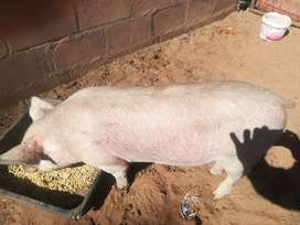 Pigs for sale