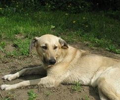 Пропала собака Белка Вознаграждение 300 грн