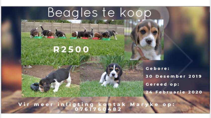 Beagle Puppies  for Sale 0