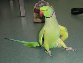 Hand Reared Indian Ringneck