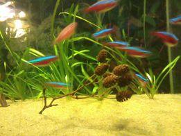 Szyszki olchy do akwarium
