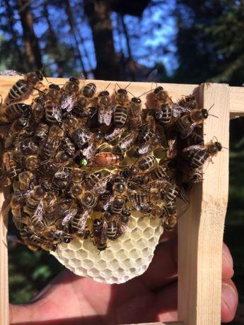 Matki pszczele 2018, Włoszka, Krainka, Buckfast, AMM, Elgon. Białystok - image 1