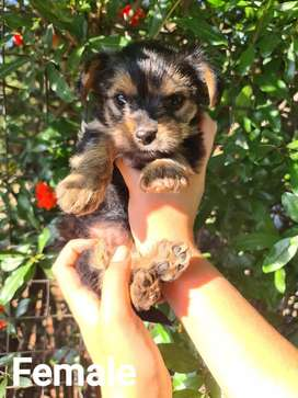 Pure bred Yorkie pups for sale