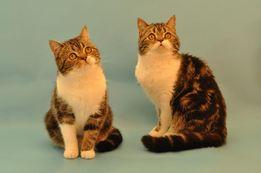 Scottish straight. Шотландские кошки.