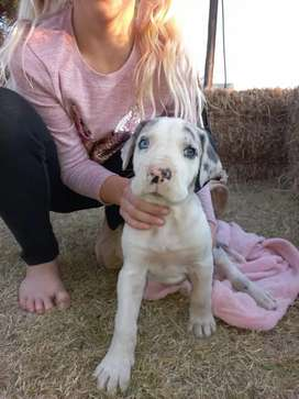 Greate Dane puppies