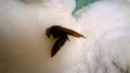 Пчела королевская сухая в коллекцию