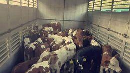 Byczki mięsne Piotrków Trybunalski