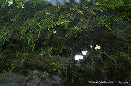 Roślina mech (Creeping moss) mech pełzający